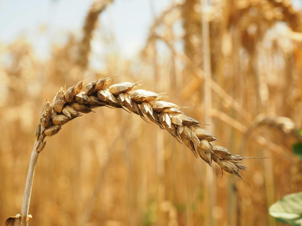 Was ist Zöliakie - Bild vom Getreide