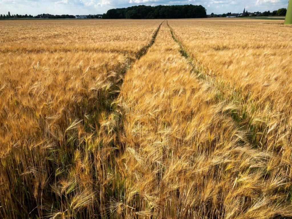 Zöliakie Spurenkennzeichnung - Getreidefeld
